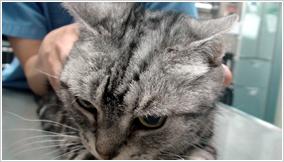 猫の扁平上皮内癌(治療後)