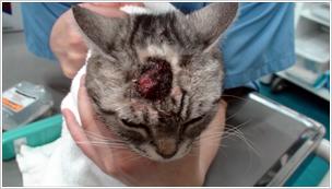 猫の扁平上皮内癌